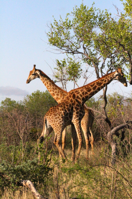 Giraffes: Strangely elegant and graceful.