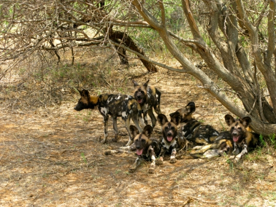 Our safari began with seeing this pack of African Wild Dogs on our trip from the plane to our lodge.