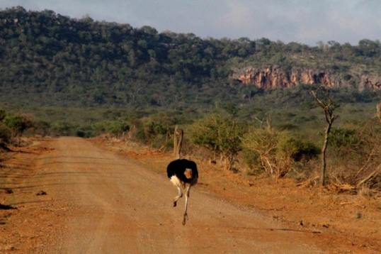 Ostrich taking a morning jog.