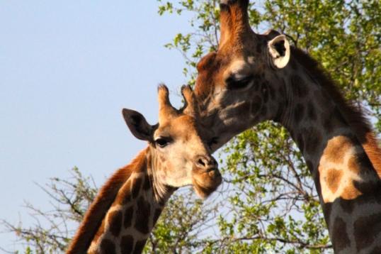 Giraffes -1