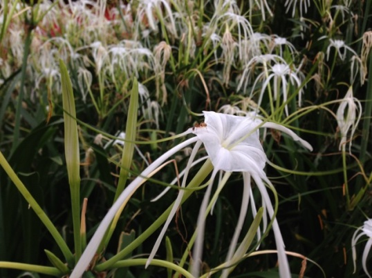 White Spider Lilies like little fireworks everywhere in the gardens.  Thanks to my followers on Instagram and Twitter for helping me identify these!